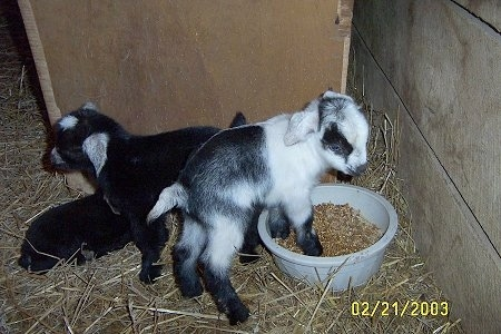 Three baby goats - A black and white goat is standing in feed. There are two black with white kid goats laying next to them inside of a barn stall.