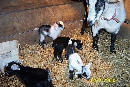 Four black and white Kid Goats are standing in hay in a barn stall and to the right of them is their black and white mother.