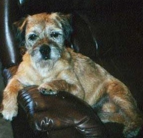 Close Up - Jake the Border Terrier leaning against the arm of a leather couch