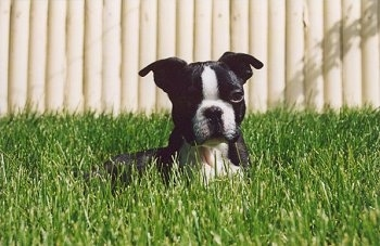 Apollo the Boston Terrier laying in tall grass with a white fence behind him