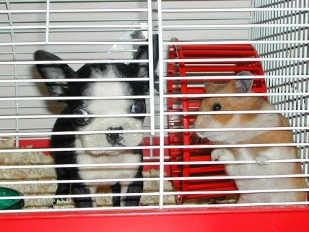 Mazzie the Boston Terrier Puppy in a hamster cage next to a hamster which is about the same size as her