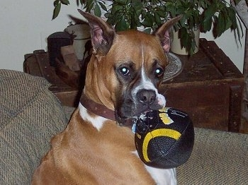 Close Up - Sadie the Boxer sitting on a couch with a football in her mouth with a wooden end table with plants on it in the background