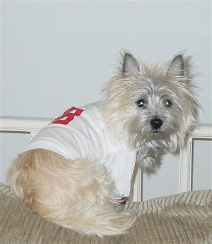Barkley the Cairn Terrier is sitting on the back of a couch wearing a white jersey and turning and looking at the camera
