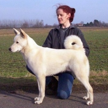 Right Profile - A white Canaan Dog is standing on a blacktop and a person is behind it and looking to the left
