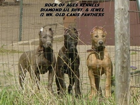 Three Canis Panther puppies are standing inside of a chain link fence on the other side of a house. The words - ROCK OF AGES KENNELS DIAMON, LIL RUBY, & JEWEL 12 WK. OLD CANIS PANTHERS - are overlayed