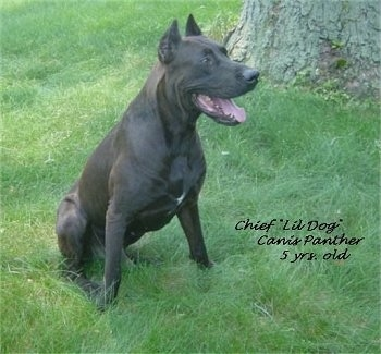 Chief 'Lil Dog' Canis Panther the dog is sitting in a field in front of a large tree. The Words - Chief 'Lil Dog' Canis Panther 5. yrs old - are overlayed