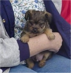 Knuckles the Chi-Poo puppy is being held against the body of a lady who is sitting down