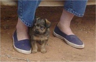 Knuckles the little Chi-Poo puppy is standing outside next to the leg of a person who is wearing blue jeans and blue shoes
