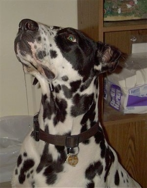 Rico the black and white spotted Dalmatian/Great Dane mix is sitting in front of a bookcase with a pack of napkins on it. He has drool coming from the corner of his mouth.
