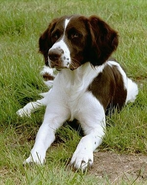 A brown and white Drentse Patrijshond is laying in a field of grass and there is a patch of dirt in front of it