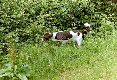 v. Zijpendaalstate the Drentse Patrijshond is sniffing towards a line of bushes through tall grass