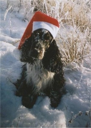 Bardas Asa Tema the black and white English Cocker Spaniel is wearing a Santa hat. He is sitting outside in snow and looking up