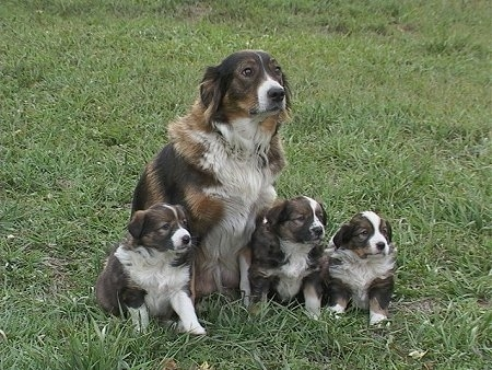 Boots the Tri-color English Shepherd is sitting in a field with a litter of puppies sitting around her