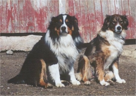 Roper and Drak Sable is Boots the black, white and tan English Shepherds are sitting in a dirt field. They are in front of a red barn