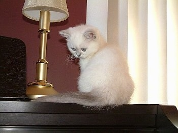 Phoebe the Exotic Shorthaired kitten is sitting on top of a piano next to a lamp facing the wall but turned to look down a the keys