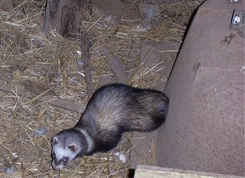 A top down view of a ferret standing next to an upside down metal bathtub and on top of hay.