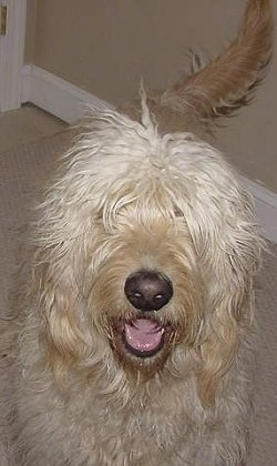A cream colored Goldendoodle is standing on a tan rug. Its mouth is open and tongue is out. It looks like it is smiling