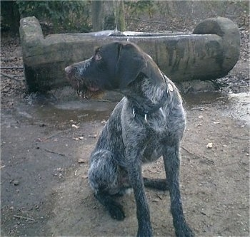 A brown and grey with white German Wirehaired Pointer is sitting in dirt and looking to the left. It has a wet mouth. There is a log cut open filled with water behind it