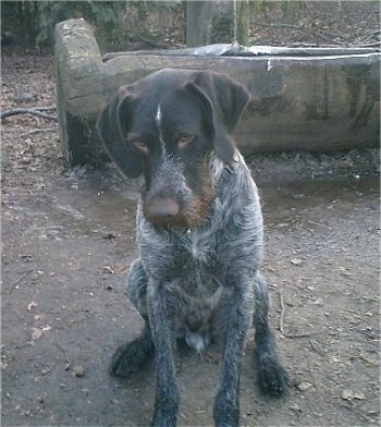 A brown and grey with white German Wirehaired Pointer is sitting in dirt. There is a carved out hollow log behind it