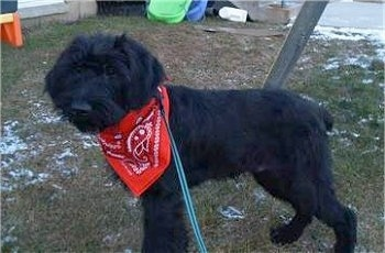 A black Giant Schnauzer Puppy is wearing a red bandana and standing in a persons yard