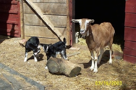 Two black and white kid goats are standing in hay in front of an open barn door next to a log and to the right of them is their mother, a brown with white goat with no horns. One of the babies  is scratching its front leg with its head.