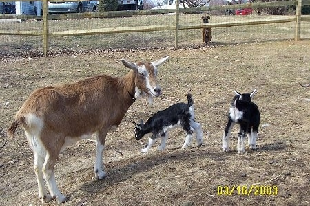 Two black with white kid goats are standing in brown grass. One is looking to the left the other is looking to the right. Their mother, a hornless, brown with white goat is standing next to them. In the background behind a wooden fence is a brown with white Boxer dog watching the goats.