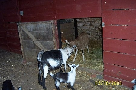 Two adult mothers, a brown with white goat and a black and white goat are butting heads in the doorway of a red barn. There is a black and white kid goat watching them.