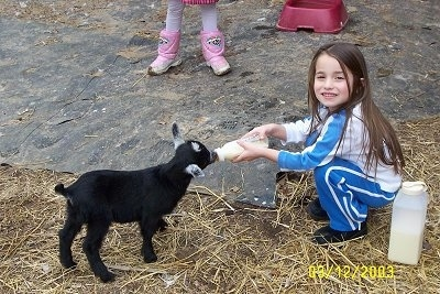 A little brown haired girl is feeding a kid goat out of a milk bottle.
