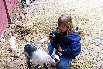 A blonde haired girl in a blue jacket has a black with white kid Goat in her lap and she is feeding it out of a bottle. There is a black and white Kid Goat standing in front of her.