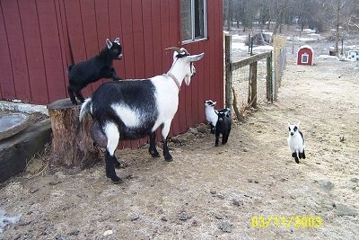Four baby goats and their mother next to a red barn - A black and white Goat is standing next to a red Goat. There is a black with white Kid Goat standing on a log and the back of a Goat. There are two Kid Goats looking at the big Goat and one Kid Goat is running down the grass.