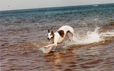 A white with brown brindle Greyhound is running and splashing through a body of water