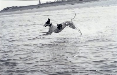 A black and white photo of a Greyhound jumping through a body of water with water splashing around it