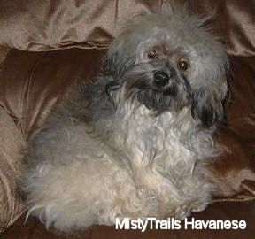 A tan and brown with black Havanese is sitting on a brown shiny colored couch