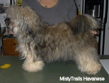 A tan, gray, brown with black Havanese is standing on a green table and being posed in a stack by a person behind it