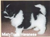 Left Profile - A black and white Havanese puppy is standing on a tan carpet. There is a tan border around the image