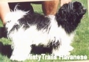 Right Profile - A black and white Havanese is standing on grass. There is a person behind it posing it in a show stack.