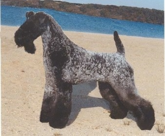 A black and gray Kerry Blue Terrier is standing on sand at a beach with a body of water behind it