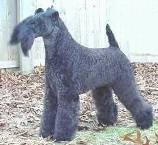 A black Kerry Blue Terrier is standing in a lawn that is covered in fallen leaves with a wooden fence behind it. The dog's tail is up.