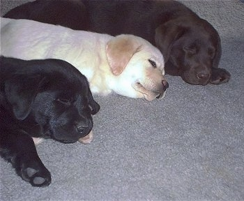 A row of sleeping puppies lined up on a gray carpet - A black Labrador Retriever puppy, yellow Labrador Retriever puppy and chocolate Labrador Retriever puppy.