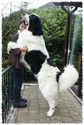 A black and white Landseer dog is jumped up with its front paws around the arms of a smiling person outside on a porch. The dog is taller than the person.