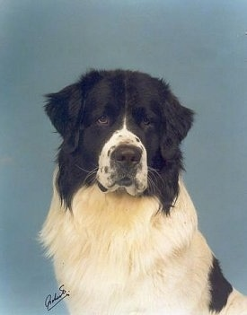 Front profile upper body shot - A large, black and white Landseer dog is sitting in front of a blue backdrop