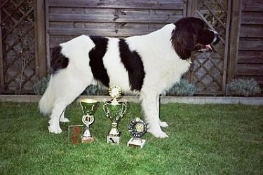 Side view - A black and white Landseer dog is standing in grass in front of four trophies that are lined up across the front of the dog. There is a wooden fence behind it.