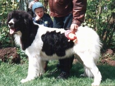 Side view - A black and white Landseer is standing in grass. There is a man and a boy standing behind the dog. The man is holding two ribbons on the dog's side. The dogs head comes up to the height of the mans hips. There are trees behind them.