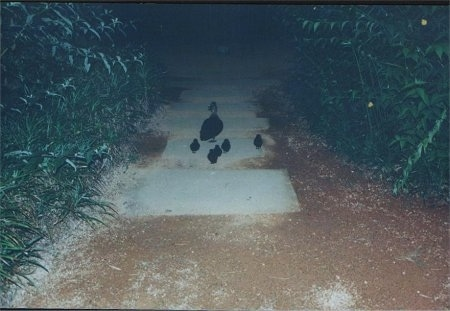 A duck is walking its ducklings down a path at night.