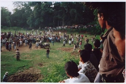 A large amount of people are circling around two bulls fighting in a field.
