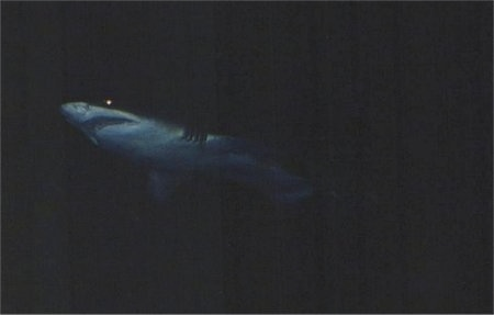 A shark that is swimming through dark waters. Its eyes are glowing.