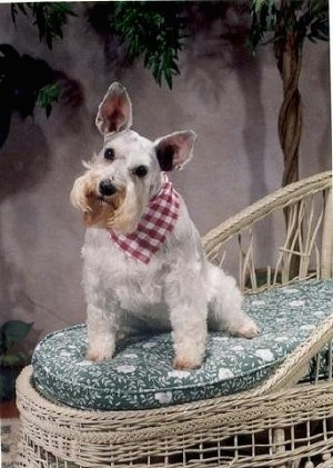 A large-eared light gray Miniature Schnauzer is sitting in a white wicker chair on top of a green cushion wearing a red and white checkered bandana. Its head is tilted to the right.