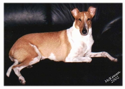 Malcom the tan and white Smooth Collie is laying on a black leather couch