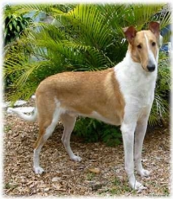 Malcolm the tan and white Smooth Collie is standing on a dirt path and there is a large plant behind it