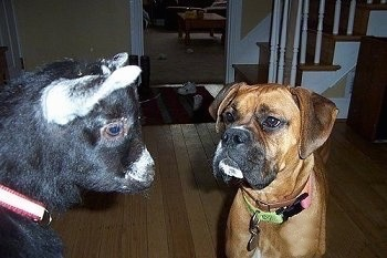 A fawn with black Boxer is standing in a house next to a black with white goat. The Boxer is staring intensely at the goat.